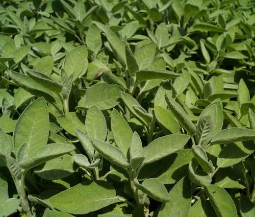 Produktbild Salvia officinalis 'Berggarten'
