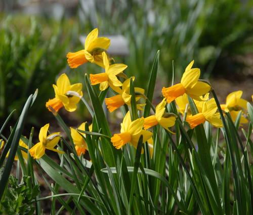 Produktbild Narzissenpaket Frühlingswiese niedrig