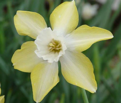 Produktbild Narcissus 'Pipit'