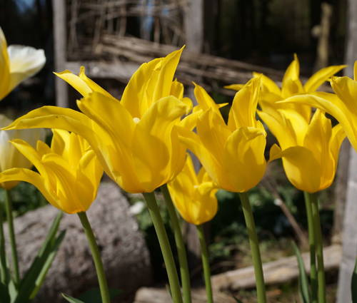 Produktbild Tulipa 'Flashback'