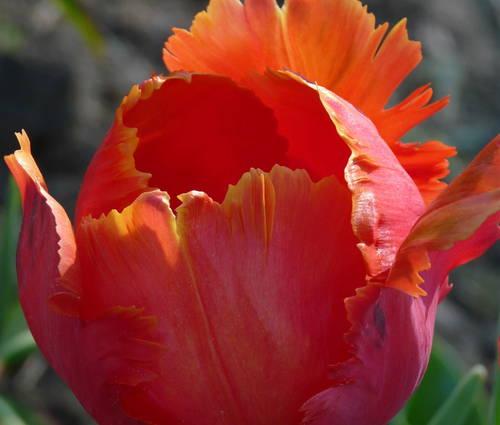 Produktbild Tulipa 'Orange Favourite'