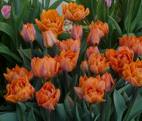 Produktbild Tulpenpaket Temperament