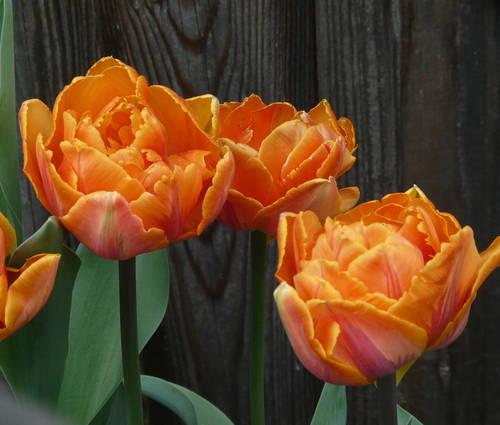 Produktbild Tulipa 'Orange Princess'
