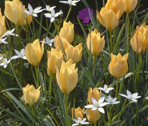 Produktbild Tulipa batalinii 'Bright Gem'