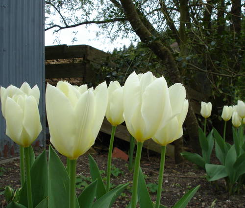 Produktbild Tulipa fosteriana 'Purissima'