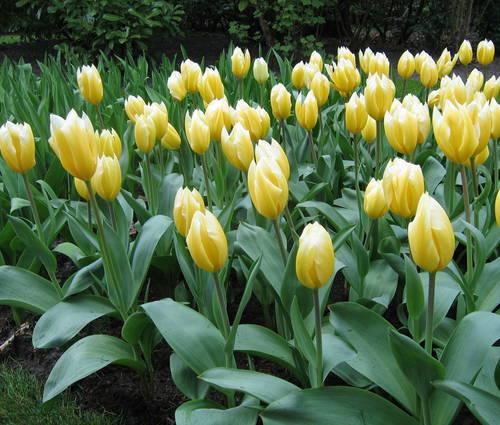 Produktbild Tulipa fosteriana 'Sweetheart'