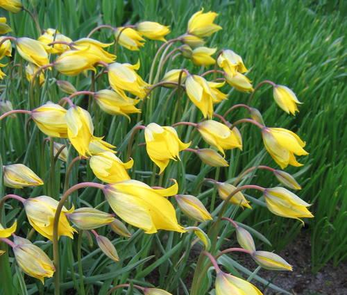 Produktbild Tulipa sylvestris