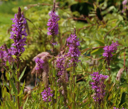 Produktbild Lythrum salicaria