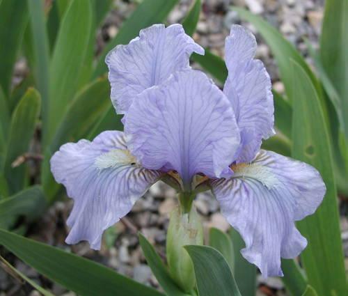 Produktbild Iris barbata-nana 'Oberschwaben'
