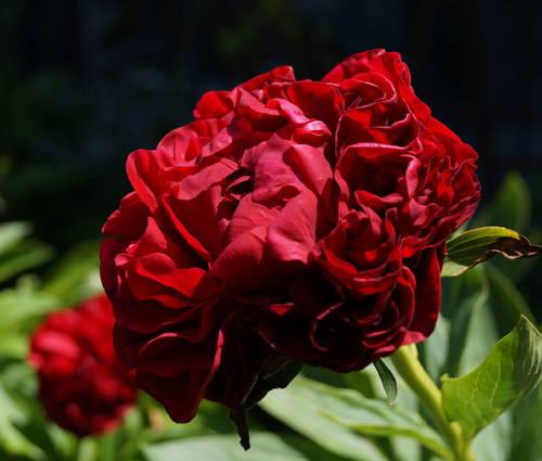 Produktbild Paeonia lactiflora 'Carol