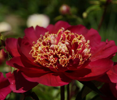Produktbild Paeonia lactiflora 'Charles Burgess'