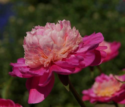 Produktbild Paeonia lactiflora 'Gay Paree'