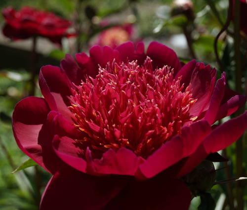 Produktbild Paeonia lactiflora 'Hari-Ai-Nin'