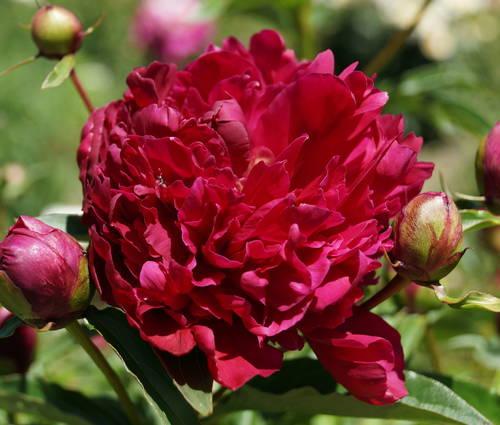 Produktbild Paeonia lactiflora 'Inspecteur Lavergne'