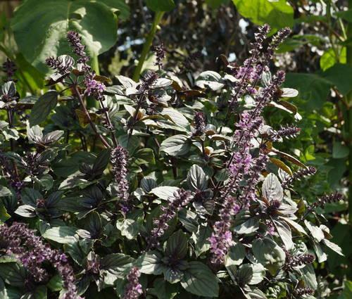 Produktbild Ocimum kilimand. x basilicum purpurascens 'African Blue'