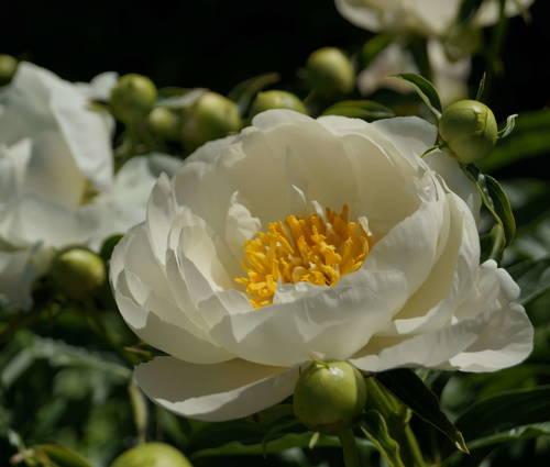 Produktbild Paeonia lactiflora 'Miss America'