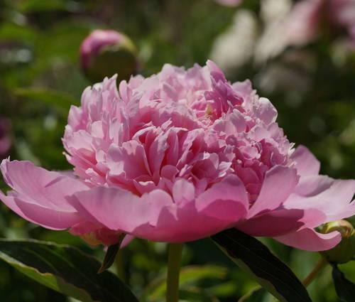 Produktbild Paeonia lactiflora 'Monsieur Jules Elie'