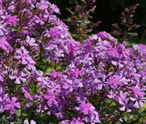 Produktbild Phlox amplifolia 'Great Smoky Mountains'
