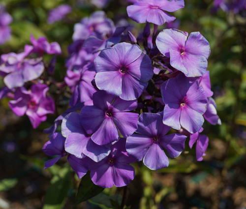 Produktbild Phlox paniculata 'Blue Paradise'