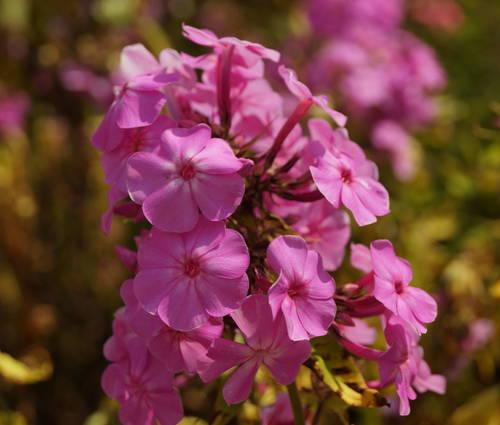 Produktbild Phlox paniculata 'Judy'