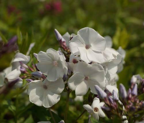 Produktbild Phlox paniculata 'Schneerausch'