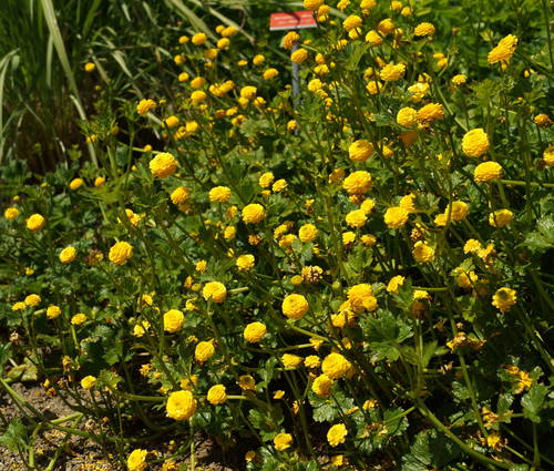 Produktbild Ranunculus repens 'Pleniflorus'