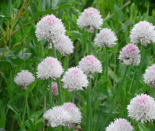 Produktbild Allium schoenoprasum 'Black Isle Blush'