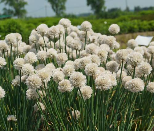Produktbild Allium schoenoprasum 'Wallington White'