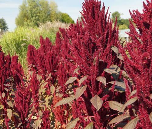Produktbild Saatgut: Amaranthus caudatus