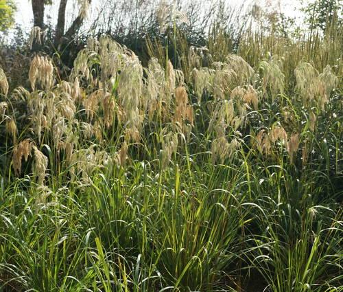 Produktbild Calamagrostis emodensis