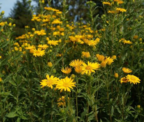 Produktbild Chrysopsis speciosa 'Sunnyshine'