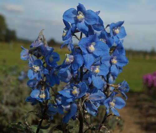 Produktbild Delphinium Belladonna-Hybride 'Bunzlau'