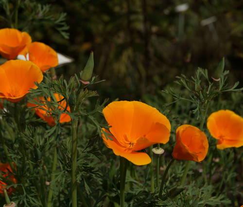 Produktbild Saatgut: Eschscholtzia californica