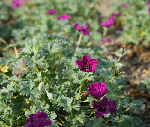Produktbild Geranium cinereum 'Purple Pillow' ®