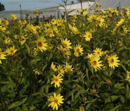 Produktbild Helianthus Microcephalus-Hybride 'Lemon Queen'