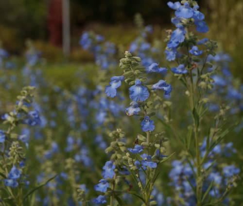 Produktbild Salvia azurea 'Grandiflora'