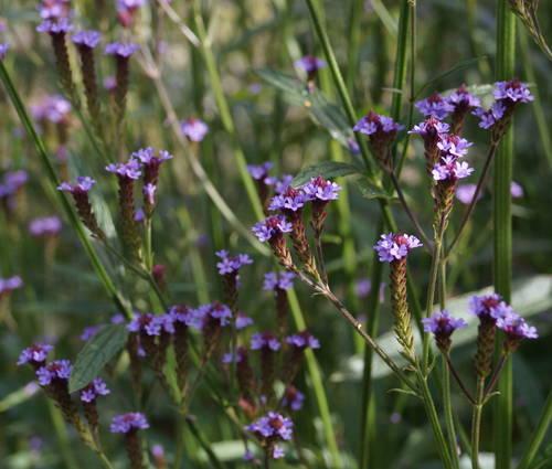 Produktbild Verbena macdougalii 'Lavender Spires'