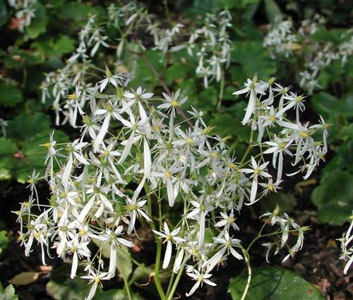 Produktbild Saxifraga cortusifolia var. fortunei 'Maigrün'