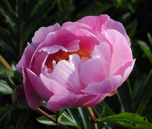 Produktbild Paeonia lactiflora 'Holbein'