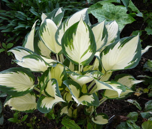 Produktbild Hosta Hybride 'Fire and Ice'