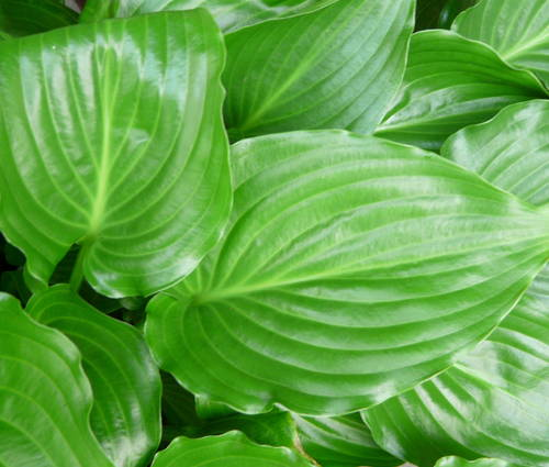 Produktbild Hosta Hybride 'Invincible'
