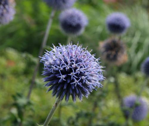 Produktbild Echinops ritro 'Veitch's Blue'