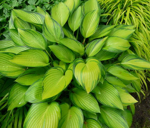 Produktbild Hosta Hybride 'June Fever' ®