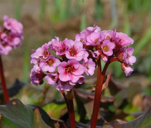 Produktbild Bergenia Hybride 'Herbstblüte'