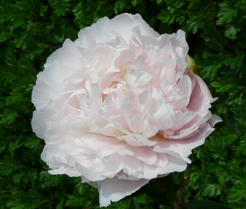 Produktbild Paeonia lactiflora 'Madylone'