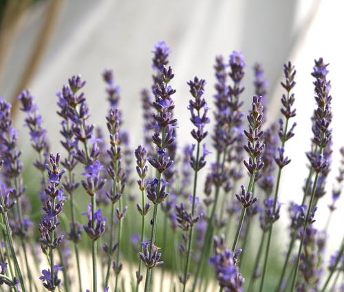 Produktbild Lavandula angustifolia 'Maillette'