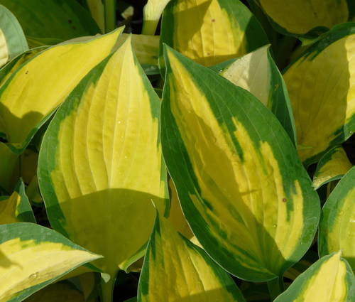 Produktbild Hosta Hybride 'Orange Marmalade' ®