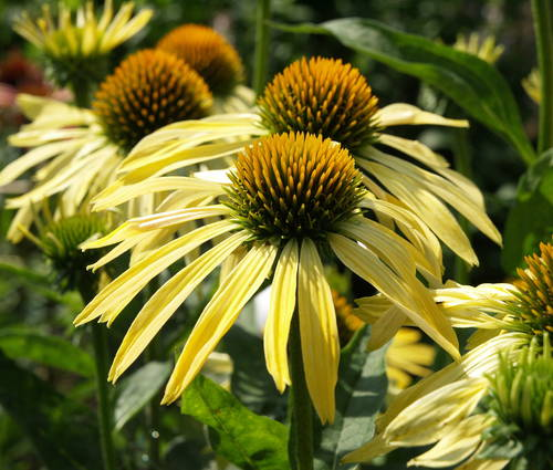Produktbild Echinacea Hybride 'Sunrise' ®