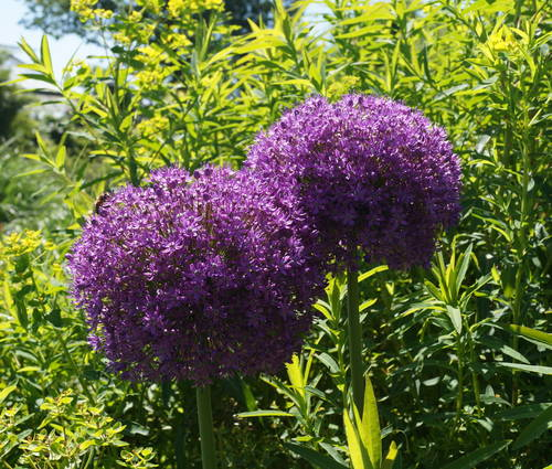 Produktbild Allium Hybride 'Ambassador' ®
