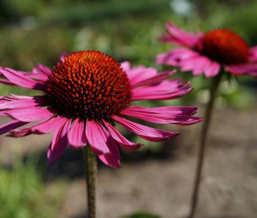 Produktbild Echinacea purpurea 'Vintage Wine' ®
